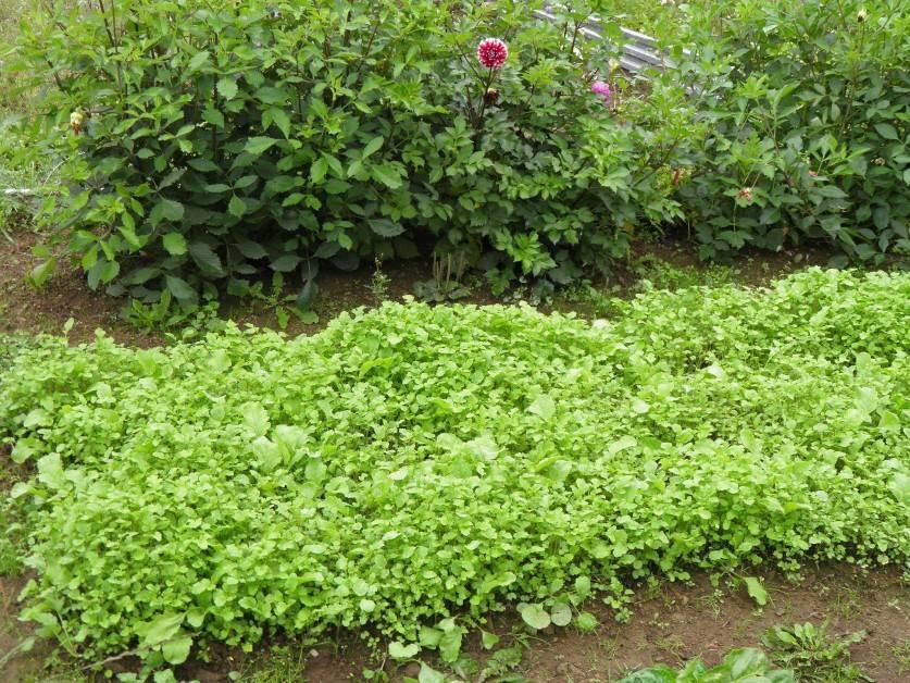 Лучшие сидераты для огорода
