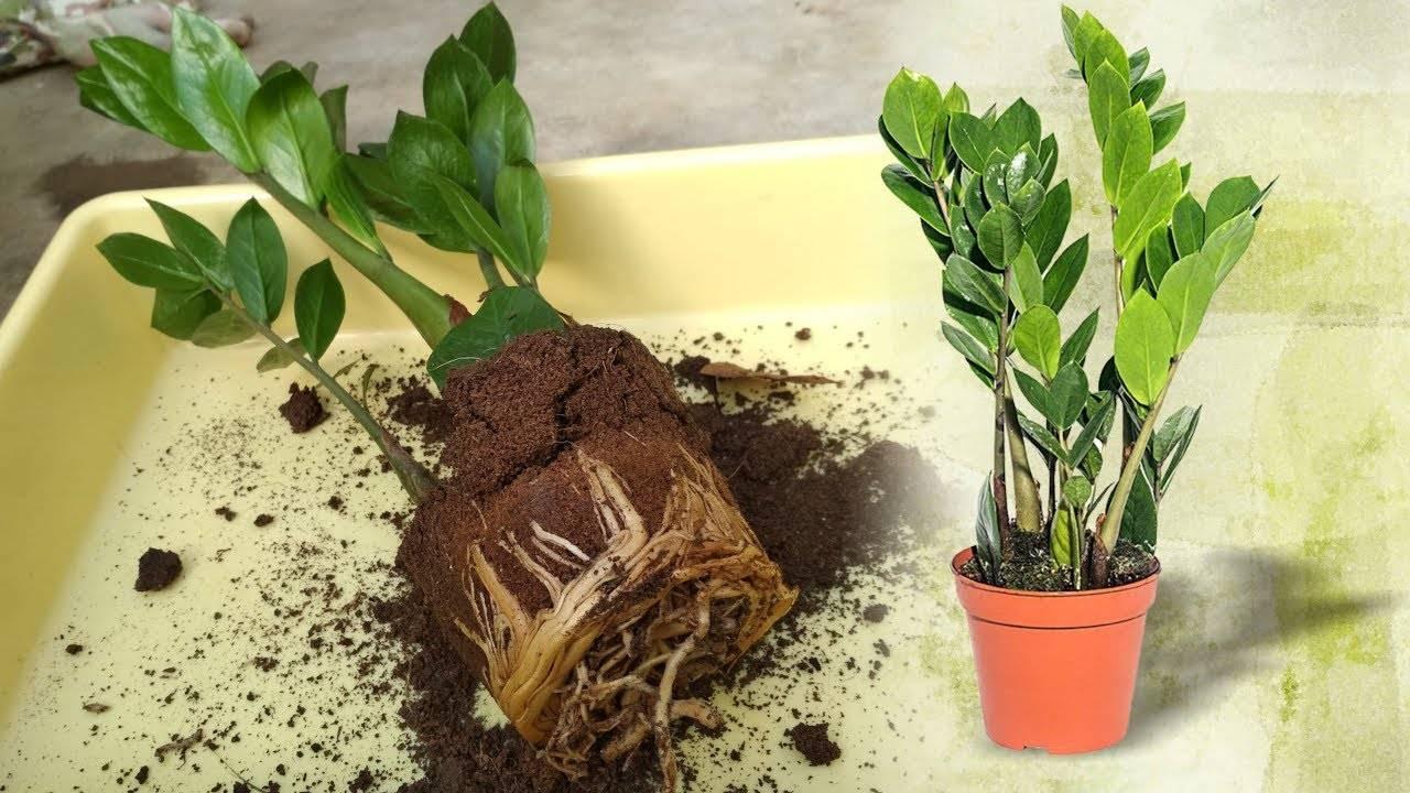 Замиокулькас – долларовое дерево