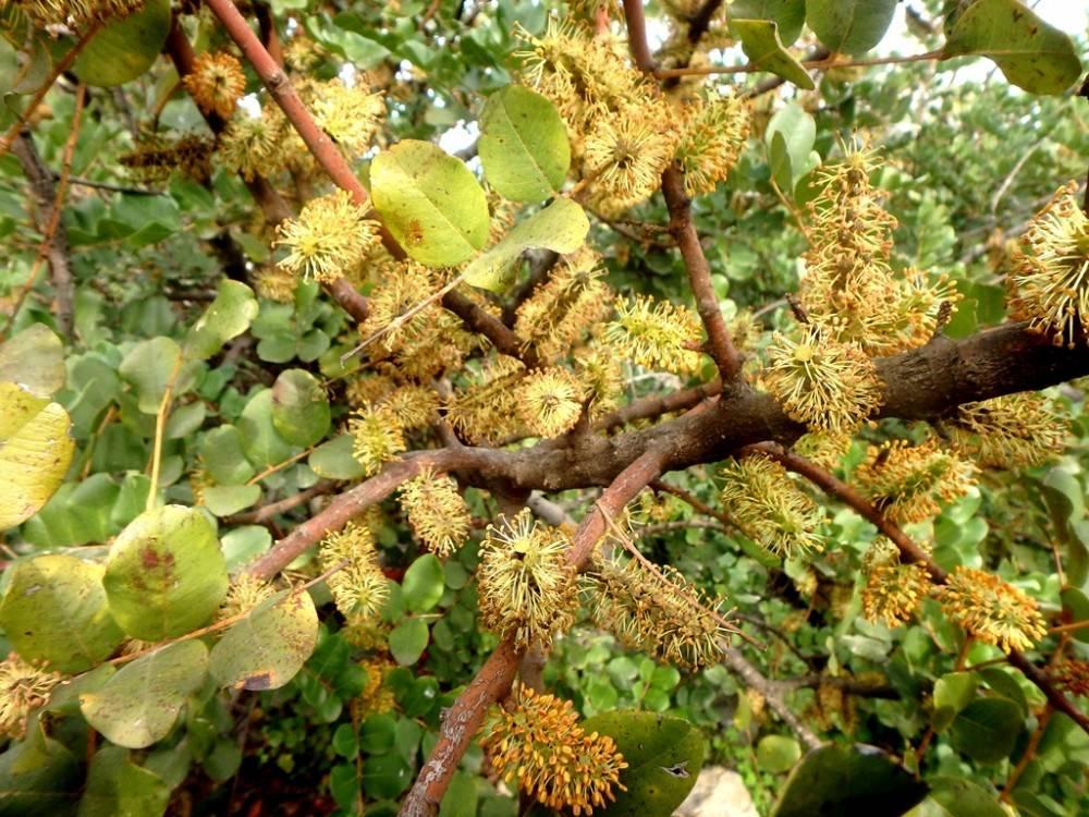 Плоды рожкового дерева — чем полезные и чем вредны