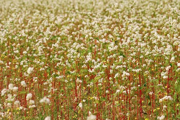 Уборка кукурузы на зерно: видео, сроки, способы уборки