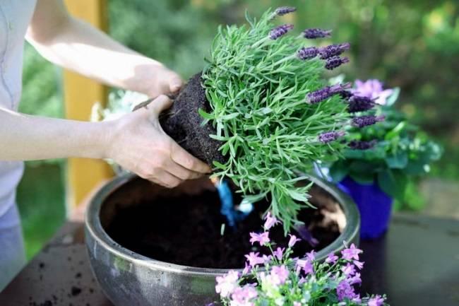 Весенняя обрезка лаванды чтобы добиться хорошего цветения, видео