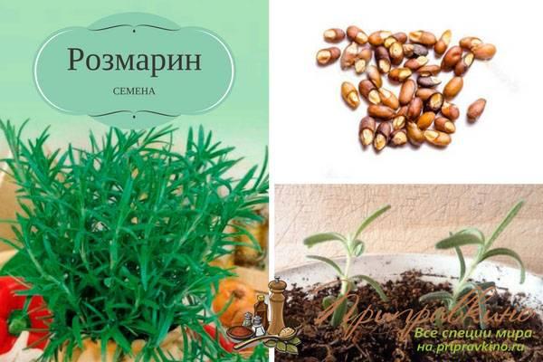 Как посадить и вырастить розмарин в открытом грунте и в домашних условиях