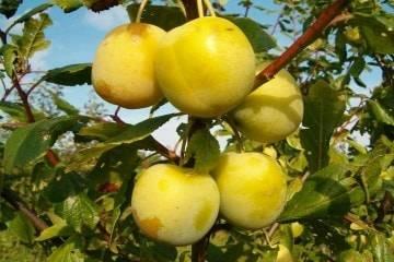 Сорт медовая желтая – яркий цвет, сладкий вкус и минимум ухода