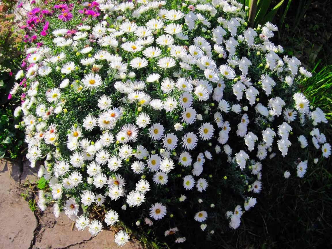 Выращиваем устойчивые к фузариозу астры на срезку