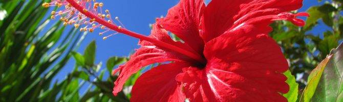 Садовый гибискус – уход и размножение, виды, сорта, фото