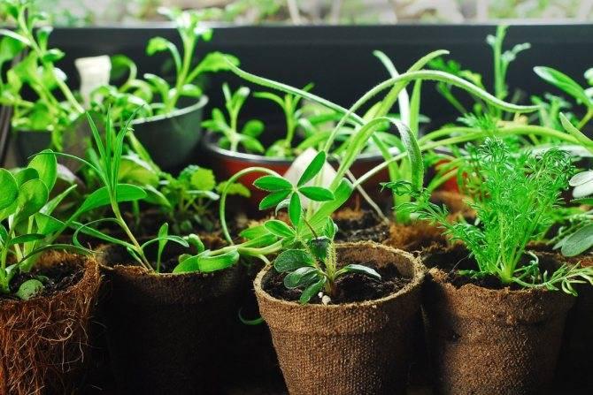 Выращиваем рассаду правильно – об этом должен знать каждый огородник