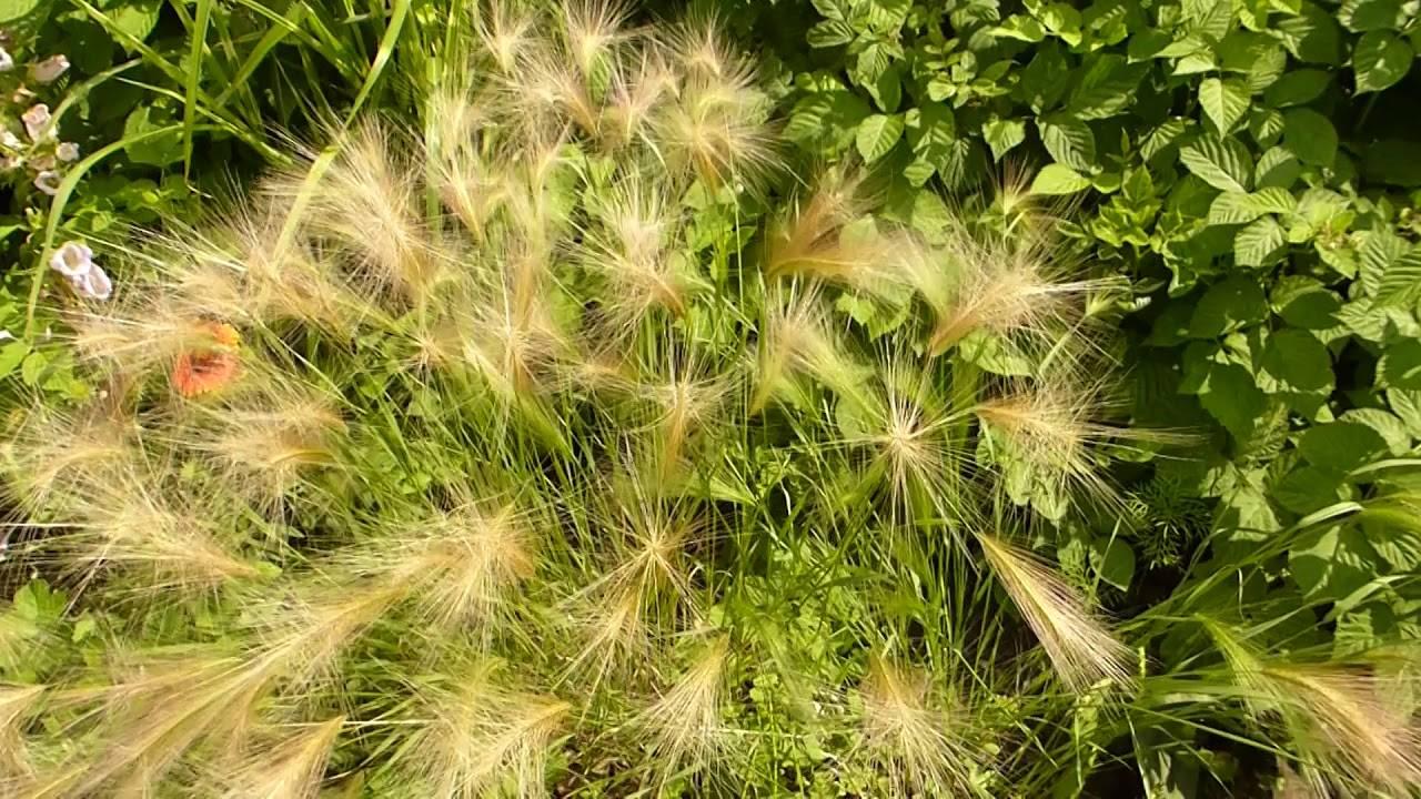 Многолетние ракушки стахиса – польза, посадка и уход