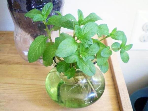 Выращивание шпината в открытом грунте: посадка и уход