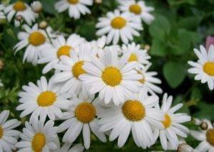 Белоснежная ромашка садовая сможет украсить любой участок