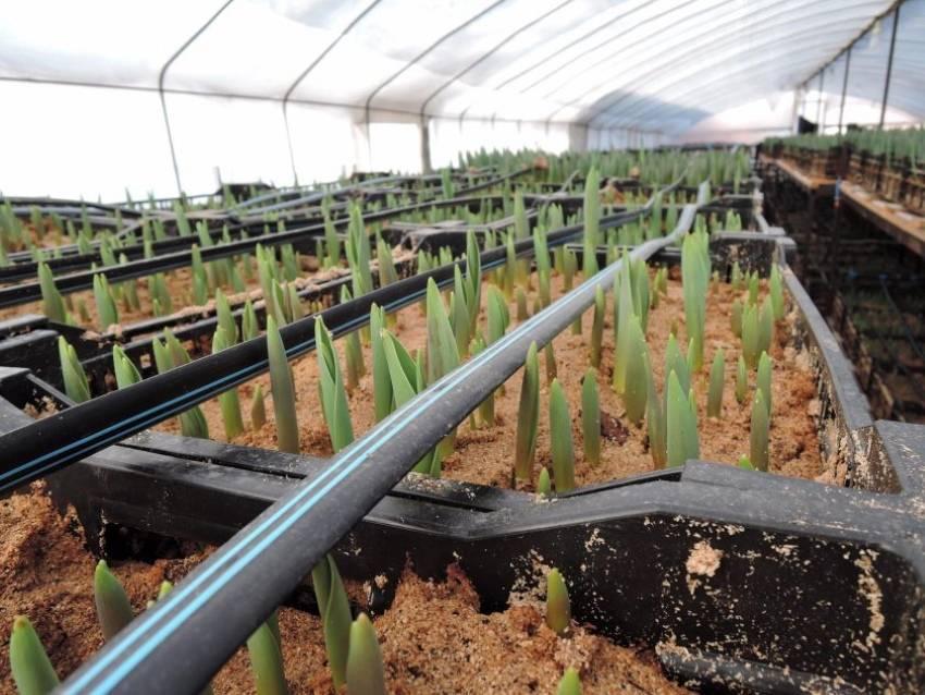 Сколько растет тюльпан в теплице, как выгонять луковичные