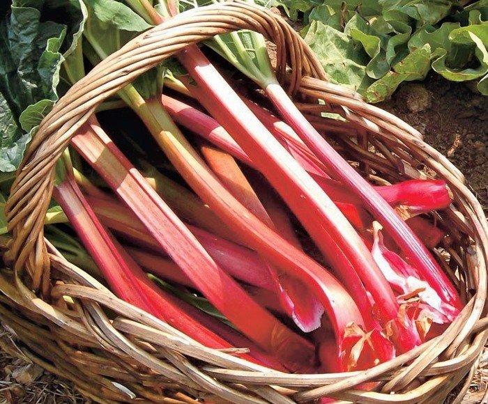 Полезные свойства растения ревень и его применение, показания и противопоказания