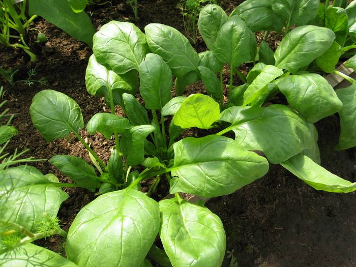 Выращиваем на грядке тетрагонию — новозеландский шпинат