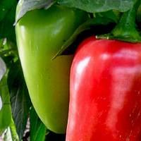 Какие сорта перца подойдут для выращивания в сибири