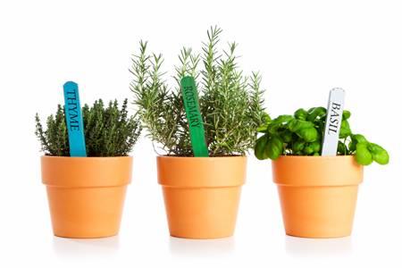 Розмарин в подмосковье: выращивание, уход и сбор урожая