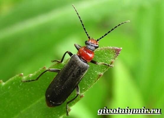 Легенда древнего египта – священный жук скарабей