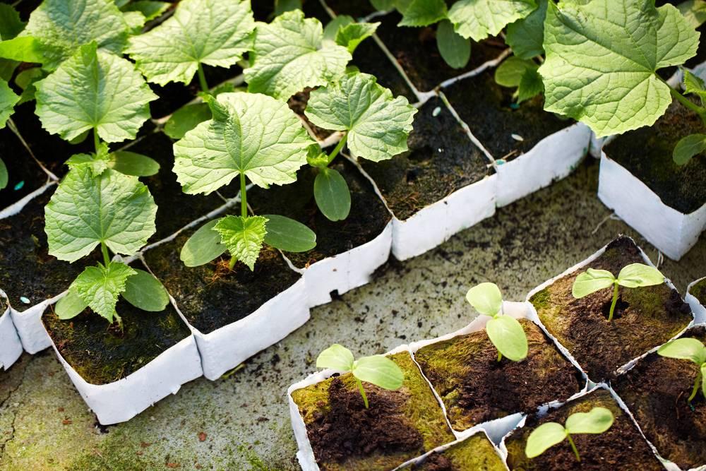 Выращивание рассады огурцов видео