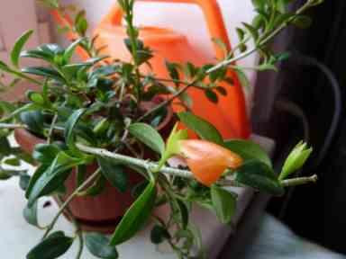 Нематантус цветок уход в домашних условиях и размножение