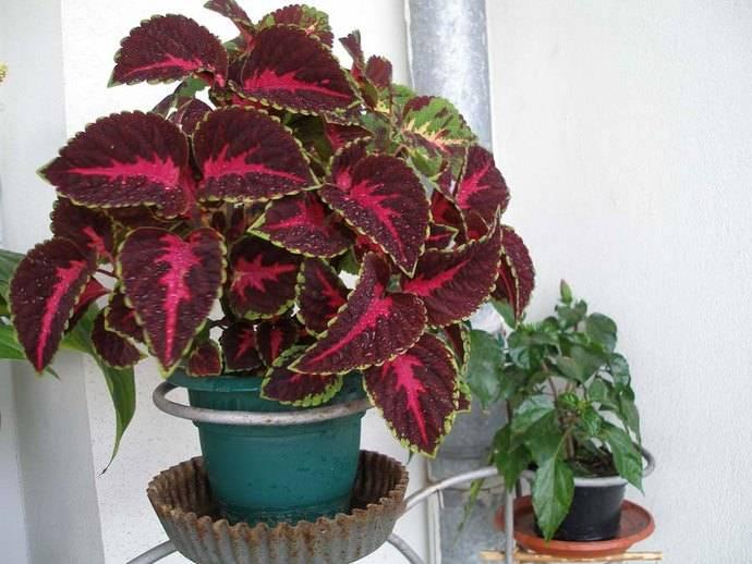 Растение колеус: выращивание из семян в домашних условиях