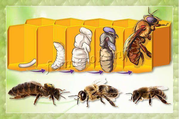 Кто такие трутни и зачем они нужны пчелиной семье