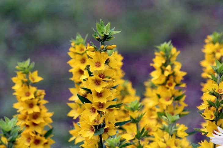 Вербейник: декоративные цветы и их выращивание в саду