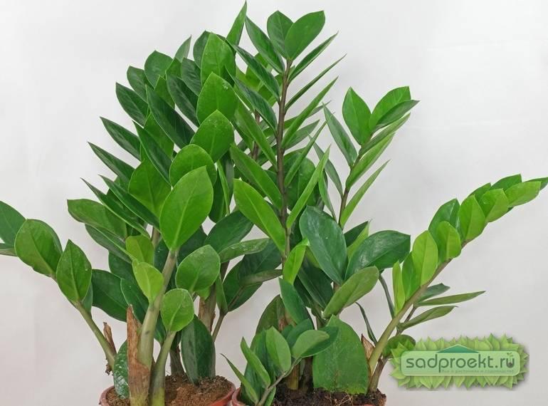 Замиокулькас не растет — что делать? как заставить долларовое дерево расти?