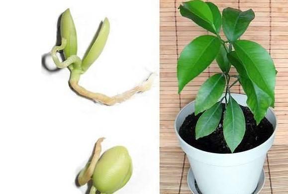 Как вырастить мандарин из косточки в домашних условиях в горшке