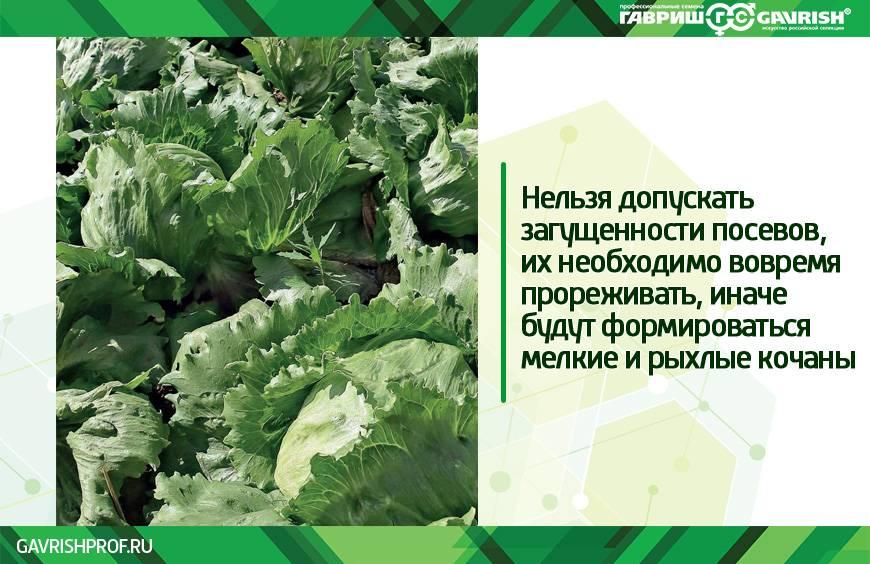 Выращивание листового и кочанного салата в открытом грунте