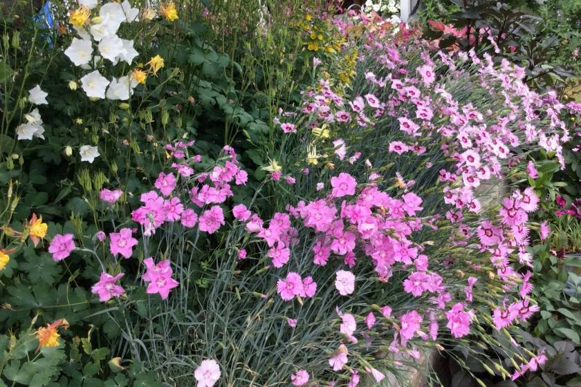 Гвоздика травянка: описание, посадка и уход