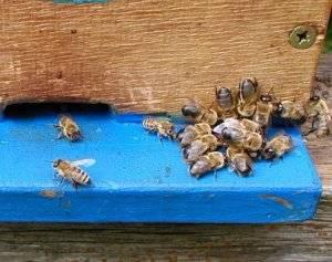 Трутни — и их роль в жизни пчелиной семьи