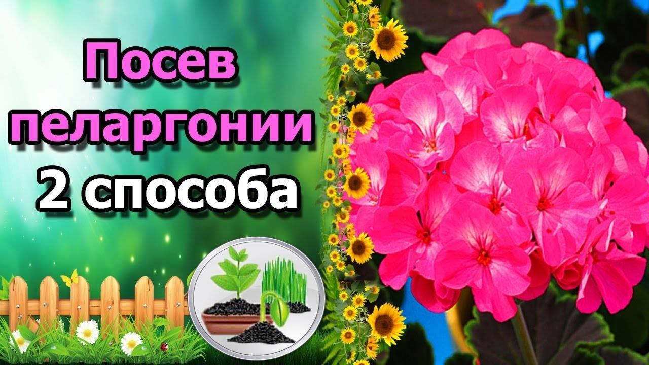 Журавельник или герань садовая многолетняя: посадка и уход в открытом грунте, фото и выращивание декоративного куста с пышными цветками