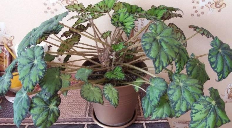 Эффектный цветок бегония бауэра или тигровая: как вырастить в домашних условиях? рекомендации по уходу