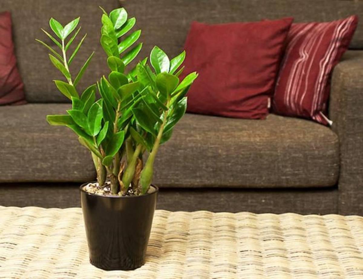 Как ухаживать за замиокулькасом в домашних условиях: секреты успешного выращивания