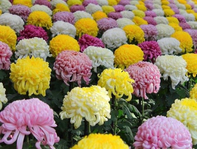 Многолетние сорта садовых хризантем: описание лучших, основные правила посадки и ухода