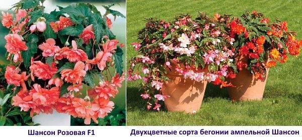 Выращивание и размножение бегонии ампельной с помощью черенков и из семян. советы по уходу