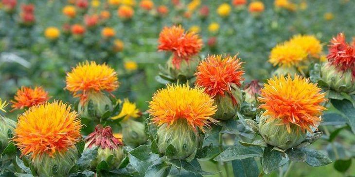 Агротехника выращивания сафлора: южной масличной культуры