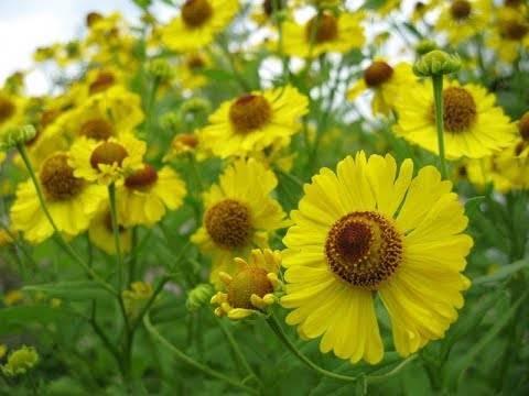 Выращивание остеоспермума из семян