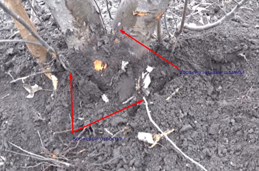 Как вырастить корнесобственные саженцы яблони. выращивание корнесобственных саженцев яблони