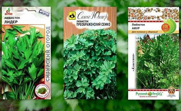 Как вырастить любисток из семян, способы размножения и правила ухода