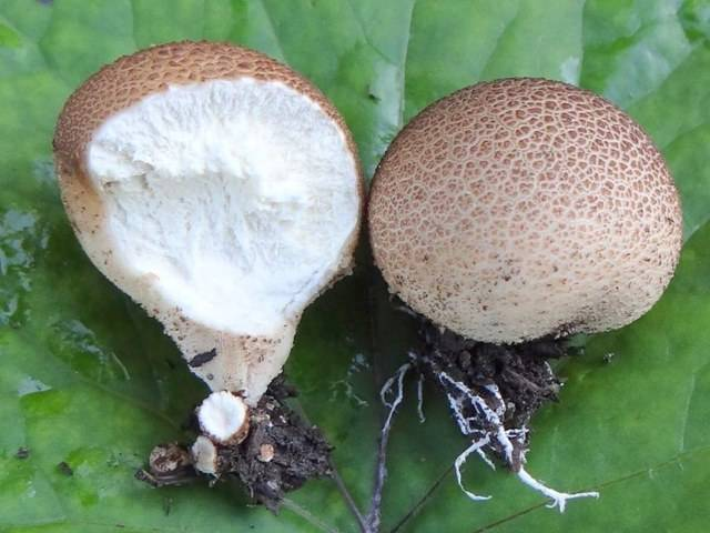 Съедобный ли гриб дождевик и как его отличить от ядовитого