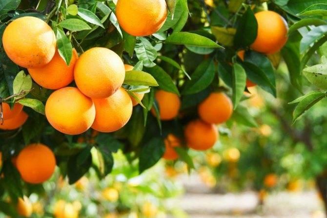 Обзор видов цитрусовых для домашнего выращивания