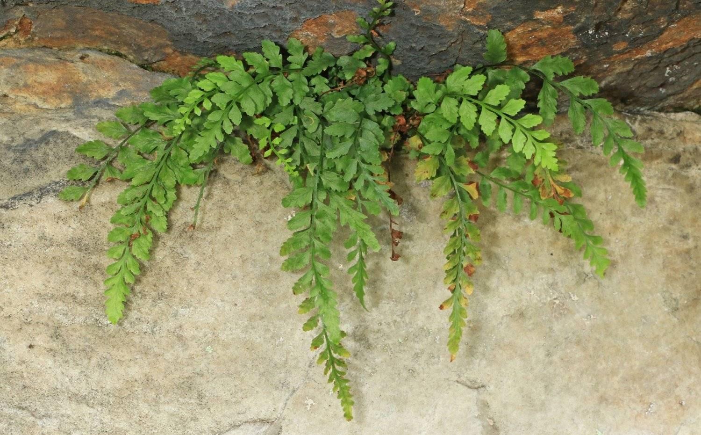 Асплениум, или костенец: сорта, выращивание