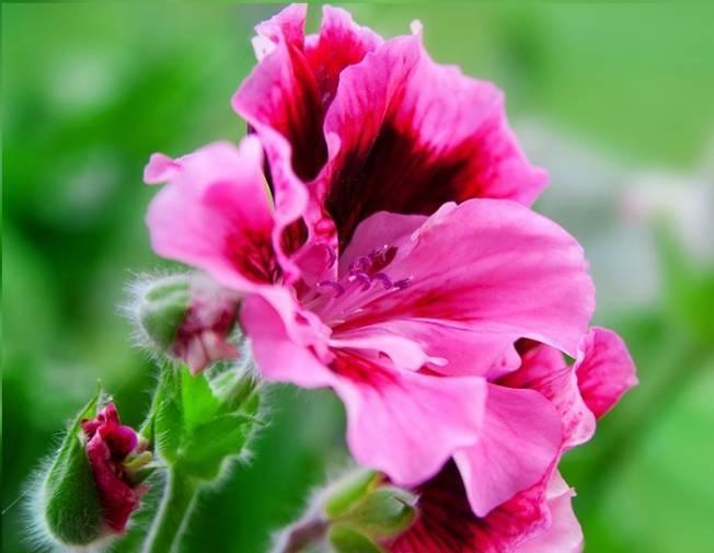 Способы размножения пеларгонии. как ухаживать за цветком после посадки?