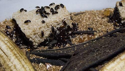 Что лечит жук знахарь?