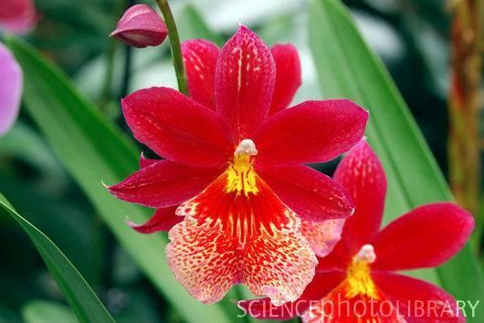 Пошаговое выращивание орхидеи из луковицы из вьетнама