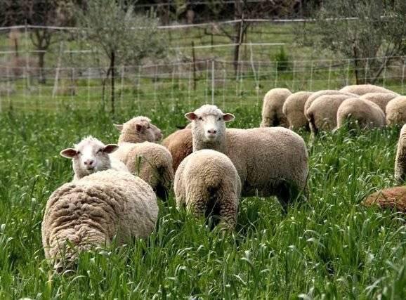 Овцеводство как бизнес для начинающего фермера — шаг за шагом