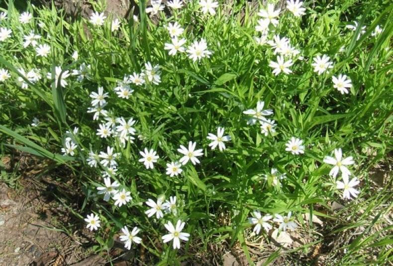 Звездчатка средняя (мокрица, мокричник): полезные свойства и лекарственные способности