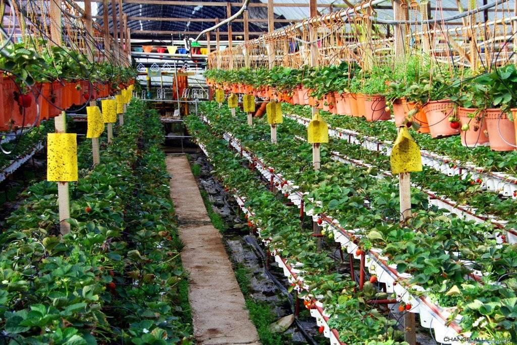 Голландская технология выращивания клубники в коробке: правда и хитрый рекламный трюк