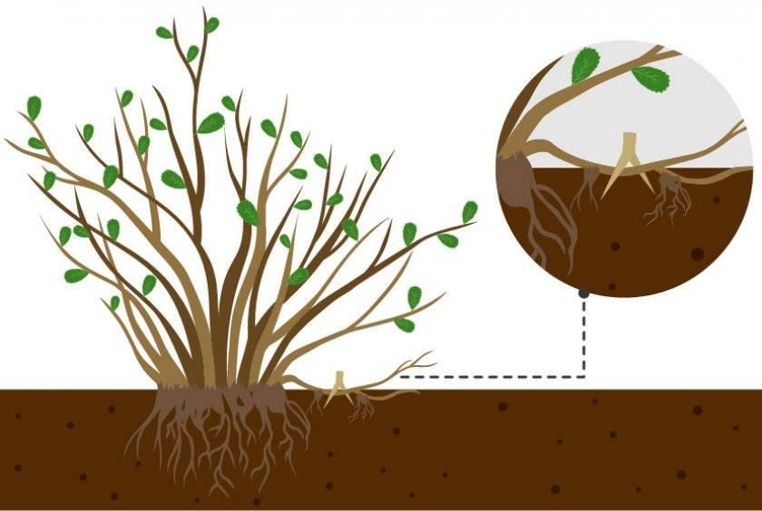 Тонкости размножения спиреи черенками