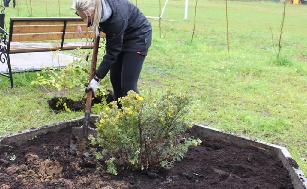 Выращивание лапчатки кустарниковой в открытом грунте