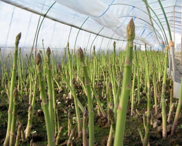 Как правильно выращивать стручковую фасоль в домашних условиях